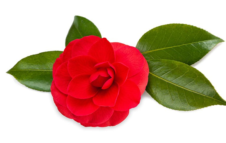 Japanese Red Camellia Oil Ingredient